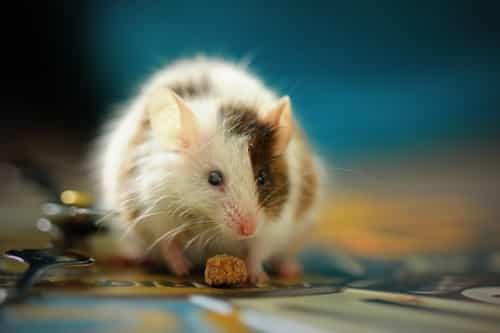 Ratón en valenciano